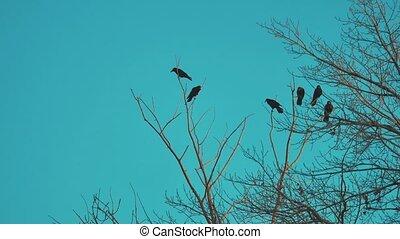 blauwe , droog, concept, van, sky., boeiend, hemel, vogels, herfst, kraaien, boom., black , levensstijl, vlucht, ravens, vogel