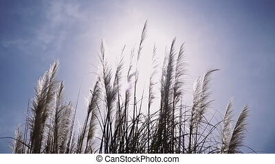 blauwe , eared, sunlights, pluizig, hemel, tegen, veer, gras, wind