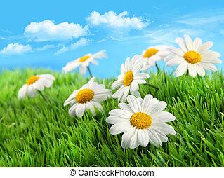 blauwe , gras, hemel, madeliefjes, tegen