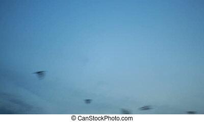 blauwe , groep, sky., kraai, op, vliegen, black , groot, ondergaande zon , velen, vogels