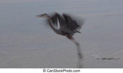 blauwe heron, groot, vlucht, kort