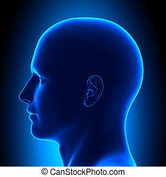 blauwe , hoofd, -, anatomie, aanzicht, bovenkant, con