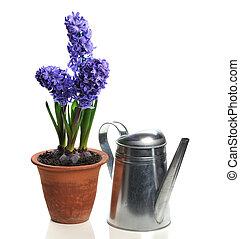 blauwe , hyacint, pot, keramisch