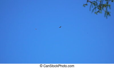 blauwe , prooi, hemel, twee vogels