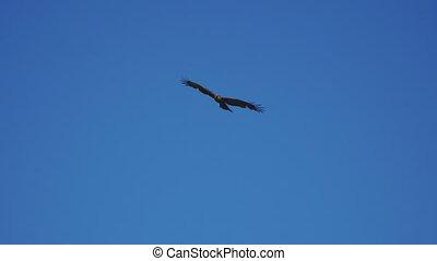 blauwe , vliegen, hemel, tegen, prooi, vogel