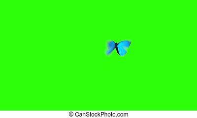 blauwe , vlinder, vliegen, menelaus, morpho