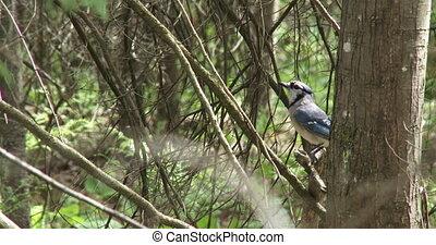 blauwe vogel, jay, boompje