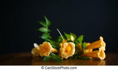 bloeien, campsis, gele, zwarte achtergrond, bloemen