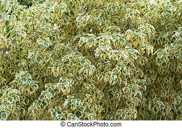 bloem, tak, takken, motley, dit, banyan, witte , leaves., groene, ficus, benjamina., achtergrond, bont, thailand, benjamina, stippen, bladeren, genaamd