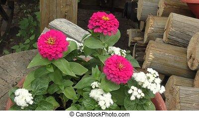 bloem, zinnia, (latin., zinnia)