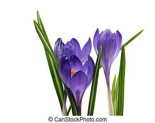 bloemen, krokus