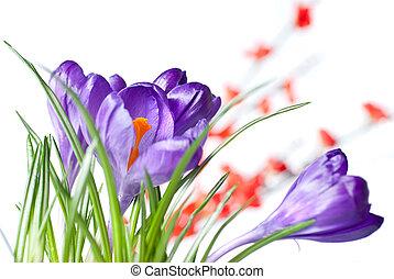 bloemen, krokus, rood, vaag
