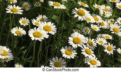 bloemen, (latin., chamomile, matricaria)