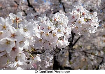bloemen, op, lente, fruit, afsluiten, vroeg