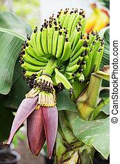 blossom , jonge, banaan