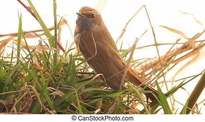 blue-throated, robin