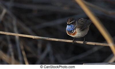blue-throated, vogel, mooi, lied, zingt
