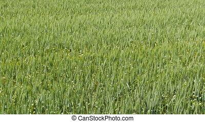 boerderij, op, platteland, boon, akker, afsluiten