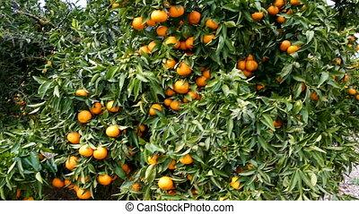 boerderij, rijp, bomen, mandarijn, fruit, sinaasappel