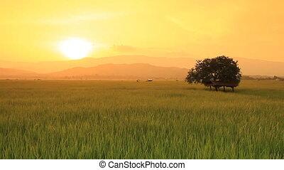 boerderij, rijst