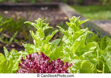 bolting, zomer, sla, uk, planten, tuin