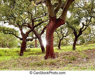 bomen, kurk