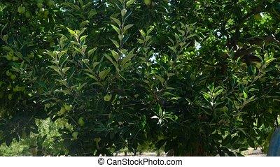 bomen, man, appel, volwassene, verpulveren