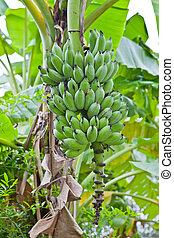boompje, groene, banaan