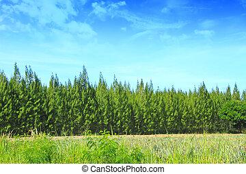 boompje, hemel, achtergrond, zomer, bos, dennenboom