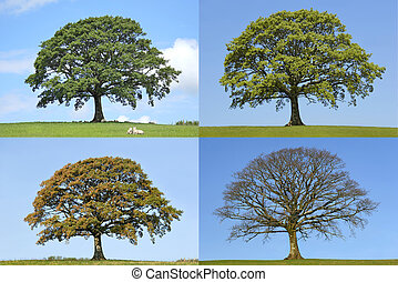 boompje, jaargetijden, vier, eik