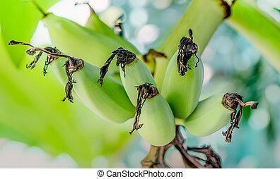 boompje, jonge, banaan