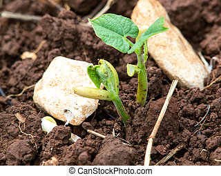 boon, plant