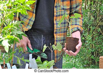 boon, plantatie, seedlings