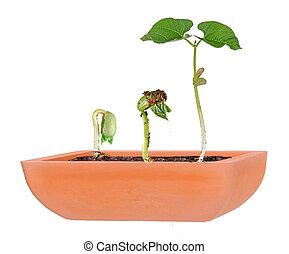 boon, pot, seedlings