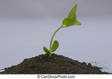 boon, seedlings