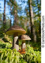 bos, paddenstoel