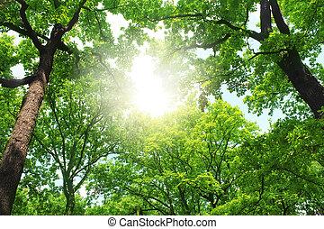 bos, zomer, bomen