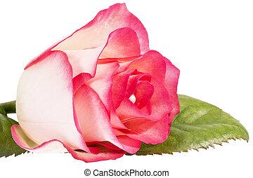 boven., bloem, roos, vrijstaand, enkel, achtergrond, black , afsluiten