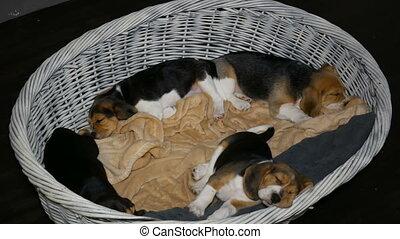 brak, mand, 3, honden, puppyies