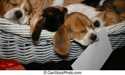 brak, mand, honden, puppyies