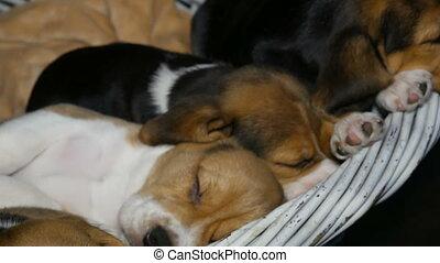 brak, mand, slaap, honden, puppyies