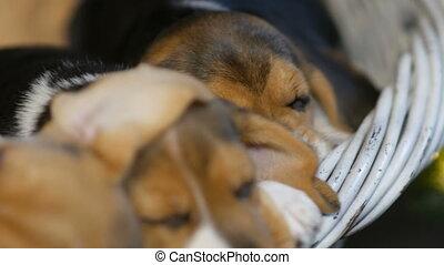 brak, mand, slapende, honden, puppyies