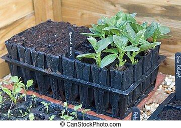 brede bonen, seedlings, groeiende, roottrainers, groente, uk