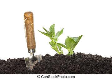 brede boon, seedlings
