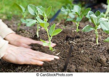 breed, aanplant, bonen, groentes, vrouw, uk