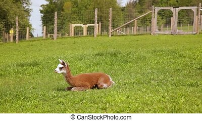 breed, akker, alpaca, groene, speels