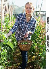 breed, oogst, vrouw, bonen