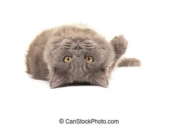 brits, kat, dons, voordeel, langharige, het liggen