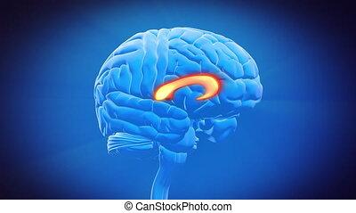 callosum, hersenen, corpus, deel, -