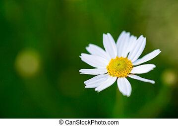 camomile, madeliefje, enkel, witte , groene, bloemenweide